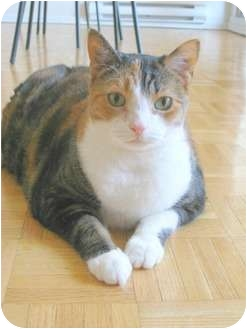 Calico Cat for adoption in Oakville, Ontario - Ella