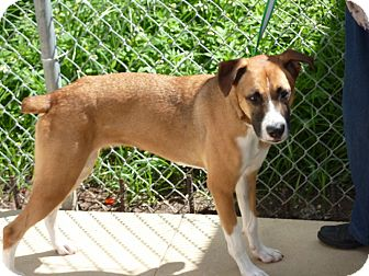 Boxer Mix Dog for Sale in hollywood, Florida - farrah
