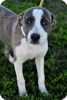 Australian Shepherd/Labrador Retriever Mix Dog for Sale in Glastonbury, Connecticut - Izzy~meet me~