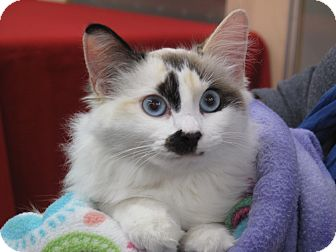 Siamese Kitten for Sale in Port Republic, Maryland - Bonnie Blue
