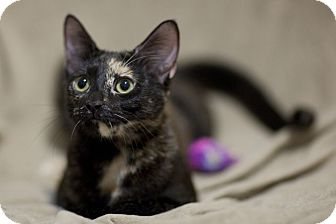 Domestic Shorthair Kitten for adoption in Chicago, Illinois - Gwen