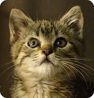 Domestic Shorthair Kitten for Sale in El Cajon, California - Peaches