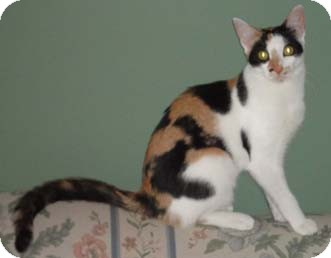 Calico Kitten for adoption in Merrifield, Virginia - Sunoco