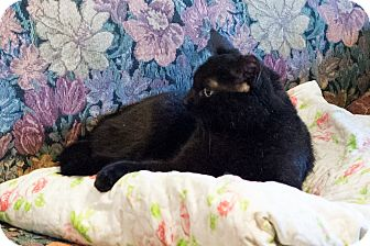Domestic Shorthair Cat for adoption in Brooklyn, New York - Absolutely Beautiful Sandra