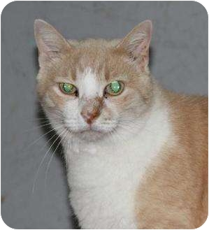 Domestic Shorthair Cat for adoption in Metairie, Louisiana - Chester