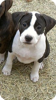Terrier (Unknown Type, Medium)/Pit Bull Terrier Mix Dog for adption in Spring Branch, Texas - Oreo