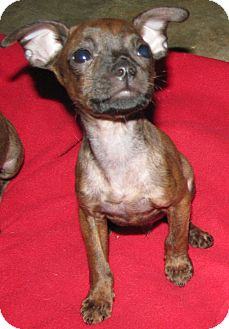 Boston Terrier/Chihuahua Mix Puppy for Sale in Somers, Connecticut - Rio - READY TO FIND HIS HOME!