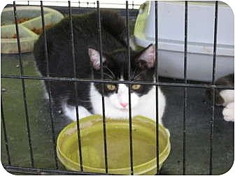 Domestic Shorthair Cat for adoption in Perkins, Oklahoma - COOKIE