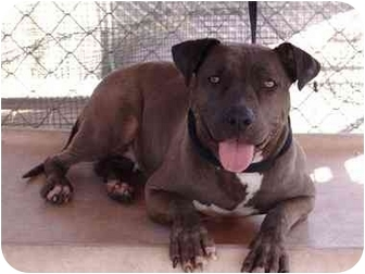 American Pit Bull Terrier/American Pit Bull Terrier Mix Dog for adption in Bellflower, California - China