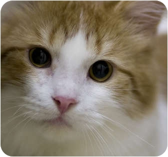 Domestic Mediumhair Cat for adoption in Chicago, Illinois - Harley Hooligan