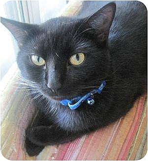 Domestic Shorthair Cat for adoption in Greenville, North Carolina - Sammy