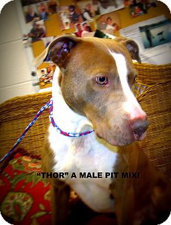 Pit Bull Terrier Dog for Sale in Gadsden, Alabama - Thor