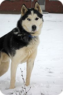 Husky Dog for Sale in London, Kentucky - Ike