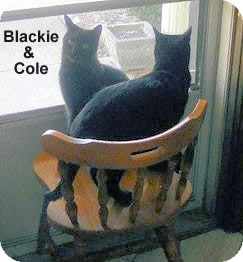 Bombay Cat for adoption in Olmsted Falls, Ohio - Cole-COURTESY PIST
