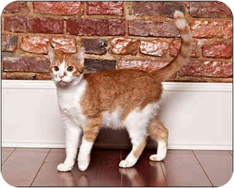 Domestic Shorthair Cat for adoption in Owensboro, Kentucky - Bob