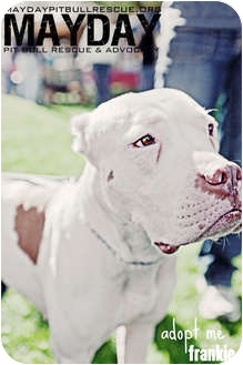 American Pit Bull Terrier Mix Dog for adption in Phoenix, Arizona - Frankie