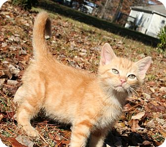 American Shorthair Kitten for Sale in Hagerstown, Maryland - Stimpy