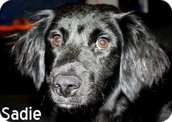 Adopt a Pet :: NJ - Sadie - New Jersey, NJ - Labrador Retriever/Cocker Spaniel Mix