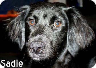 Adopt a Pet :: NJ - Sadie - New Jersey, NJ - Labrador Retriever/Cocker Spaniel Mix