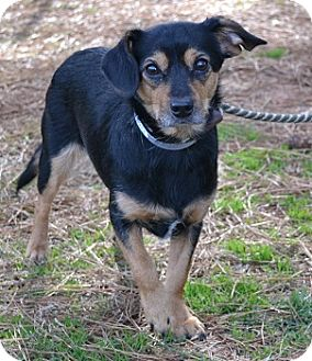 Terrier (Unknown Type, Small) Mix Dog for Sale in Athens, Georgia - Moxie