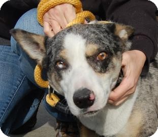 Australian Cattle Dog Mix Dog for adption in Brooklyn, New York - Russell