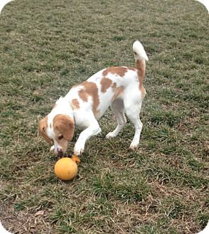 Beagle/Spaniel (Unknown Type) Mix Puppy for Sale in Stephens City, Virginia - Emilie