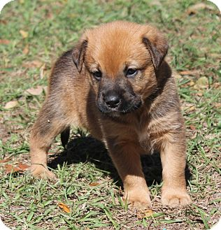 Shepherd (Unknown Type) Mix Puppy for Sale in Oldsmar, Florida - CRISBY