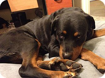 Rottweiler Dog for Sale in Gilbert, Arizona - Suri