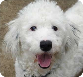 Poodle (Miniature)/Terrier (Unknown Type, Medium) Mix Dog for adption in Walnut Creek, California - Wiggles