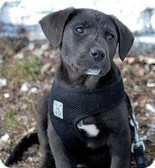 Labrador Retriever Mix Puppy for Sale in Mt. Prospect, Illinois - Tyler