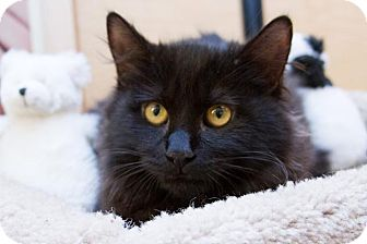 Domestic Longhair Kitten for Sale in Irvine, California - Ponyboy