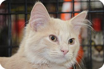 Maine Coon Kitten for Sale in Harrisburg, North Carolina - Tango