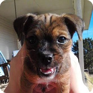 Pug Mix Puppy for Sale in Granbury, Texas - Remix