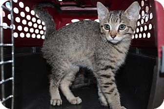 Abyssinian Kitten for Sale in santa monica, California - Bradley