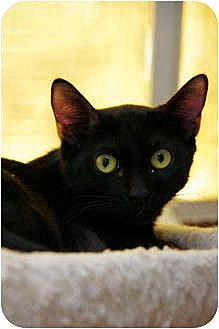 Domestic Shorthair Cat for adoption in Tempe, Arizona - Kramer