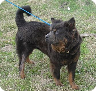 Chow Chow Mix Dog for adption in Porter, Texas - Bawco