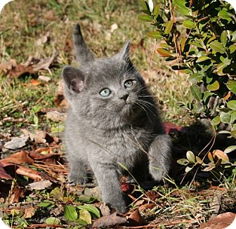 American Shorthair Kitten for Sale in Spring Valley, New York - Balu