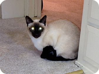 Siamese Cat for Sale in Laguna Woods, California - KoKo and Roxy