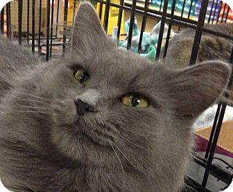 Domestic Longhair Cat for adoption in Kansas City, Missouri - Tatum