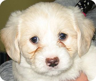 Shih Tzu/Poodle (Miniature) Mix Puppy for Sale in Thousand Oaks, California - Simba