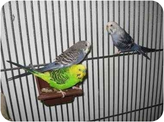 Budgie for adoption in Creston, Illinois - (no name)