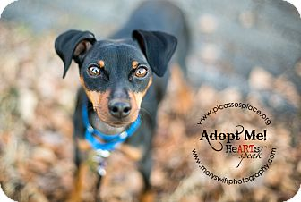 Miniature Pinscher Mix Dog for Sale in Myersville, Maryland - Crash