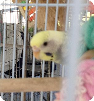 Parakeet - Other for Sale in Punta Gorda, Florida - Missi