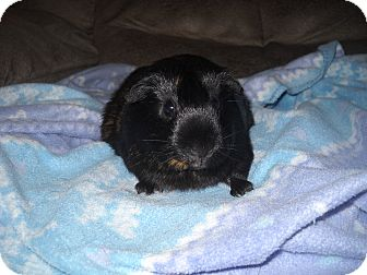 Guinea Pig for adoption in johnson creek, Wisconsin - chip