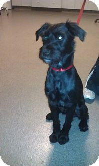 Schnauzer (Miniature)/Terrier (Unknown Type, Medium) Mix Dog for Sale in Phoenix, Arizona - Gibson