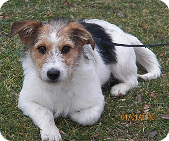 Jack Russell Terrier/Terrier (Unknown Type, Small) Mix Dog for Sale in Sussex, New Jersey - Snuggles