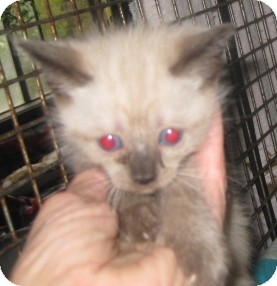 Ragdoll Kitten for Sale in Dallas area, Texas - Cocoa Puff
