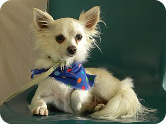 Chihuahua Dog for Sale in Princeton, Kentucky - Carlos Santana