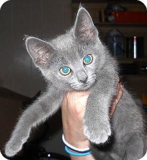 Domestic Shorthair Kitten for Sale in Temple, Pennsylvania - Squeak