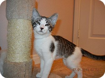Domestic Shorthair Cat for adoption in Winchester, California - Aladdin